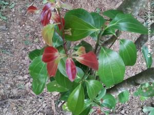 Cinnamomum verum bush